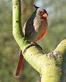 Cardinalis sinuatus 2.jpg
