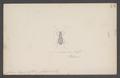 Cardiomera - Print - Iconographia Zoologica - Special Collections University of Amsterdam - UBAINV0274 012 02 0092.tif