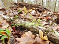 Carex albicans.jpg