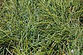 Carex flacca 3zz.jpg