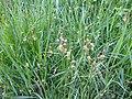 Carex hirta plant (01).jpg