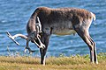 Caribou (Rangifer tarandus) - Port au Choix, Newfoundland 2019-08-19 (06).jpg