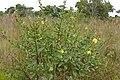 Carolina Primrose-willow (Ludwigia bonariensis) (29245543925).jpg