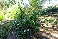 Carpenteria californica - Mildred E. Mathias Botanical Garden - University of California, Los Angeles - DSC02969.jpg