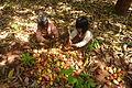 Cashew Nuts ernten mit Family Thong in Ratanakiri 13.JPG
