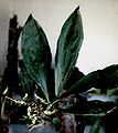 Catasetum barbatum - pl.jpg