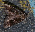 Catocala innubens – Betrothed Underwing Moth (14828249451) (2).jpg