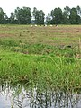 Cattle grazing in the marshes - geograph.org.uk - 1358545.jpg