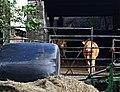 Cattle in the Farmyard - geograph.org.uk - 292287.jpg