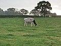 Cattle near Moston - geograph.org.uk - 595184.jpg