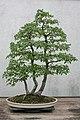 Cedar Elm (Ulmus crassifolia) (3508559582).jpg