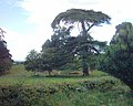 Cedar tree, park of Mamhead House - geograph.org.uk - 54577.jpg