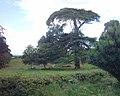 Cedar tree, park of Mamhead House - geograph.org.uk - 54577.jpg