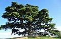 Cedro del Libano La Morra.jpg