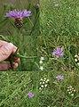 Centaurea jacea-Heisberg.jpg