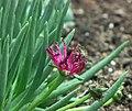 Cephalophyllum 'Red Spike' -上海植物園 Shanghai Botanical Garden- (17234651753).jpg