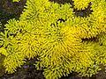 Ceratiomyxa fruticulosa (Myxomycetes), Hei- en Boeicop, the Netherlands.jpg