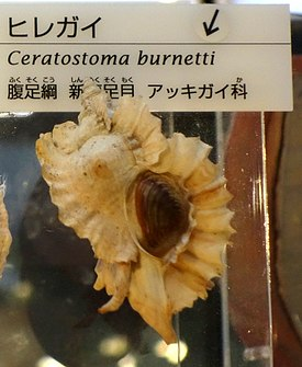 Ceratostoma burnetti - National Museum of Nature and Science, Tokyo - DSC06903-001.JPG