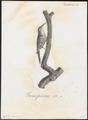 Certhia familiaris - 1802 - Print - Iconographia Zoologica - Special Collections University of Amsterdam - UBA01 IZ19200347.tif