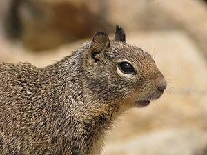 Infanticide in rodents - California ground squirrel, one species known to show infanticide behaviour