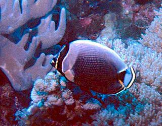 Mailed butterflyfish