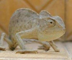 Lobengula - Image: Chameleon jpatokal