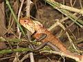 Chameleon - ഓന്ത് (12).JPG