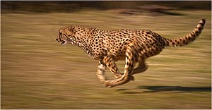 Animal locomotion - Image: Cheetah chase