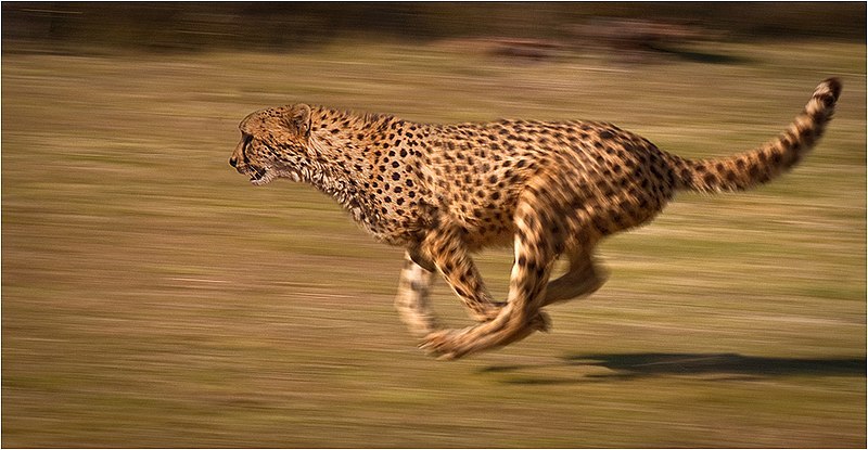 File:Cheetah chase.jpg