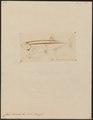 Chela bacaila - 1807-1822 - Print - Iconographia Zoologica - Special Collections University of Amsterdam - UBA01 IZ15000158.tif