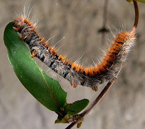 Chenille dévorant une feuille de chèvrefeuille / Caterpillar eating a honeysuckle leaf.