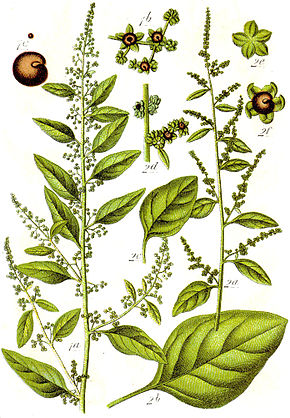 Description de l'image Chenopodium_polyspermum_Sturm28.jpg.