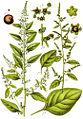 Chenopodium polyspermum Sturm28.jpg