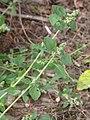 Chenopodium vulvaria inflorescence (28).jpg