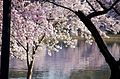 Cherry blossoms through the trees - 2013-04-09 (8634835237).jpg