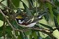 Chestnut-sided Warbler (male) Anahuac NWR-Jackson Prairie Woodlot TX 2018-04-24 15-03-19 (42013151842).jpg