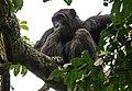 Chimp in foliage in Kyambura game reserve.jpg