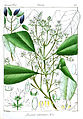 Chionanthus ramiflorus Govindoo.jpg