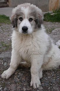 A Great Pyrenees pup.