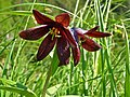 Chocolate lily KEFJ (9025146267).jpg