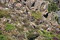 Choughs above Kynance Cove (8100).jpg