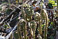 Christmas Fern Fiddleheads (7074118817).jpg