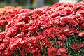 Chrysanthemum Savona 1zz.jpg