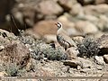Chukar Partridge (Alectoris chukar) (27812432209).jpg