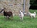 Churchyard goats, Lusby - geograph.org.uk - 665276.jpg