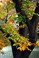 "Cincinnati - Spring Grove Cemetery & Arboretum ""Autumn Entanglement 1"" (15703897491).jpg"