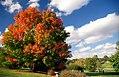 """Cincinnati - Spring Grove Cemetery & Arboretum """"Suger Maple"""" (8157217146).jpg"""
