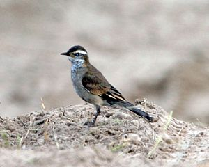 Cinclodes - Buff-winged cinclodes (C. fuscus) in Argentina