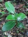 Cinnamomum verum (Lauraceae).jpg