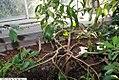 Cinnamomum verum 11zz.jpg